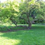 Magnolienbaum im Schlosspark