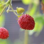 Wilderdbeeren